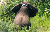 Collar Protect Elephants in South Sudan